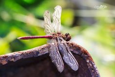 Dragonfly likes rust by Cristian Petri on Moth, Rust, Insects, Photos, Animals, Pictures, Animales, Animaux, Animal