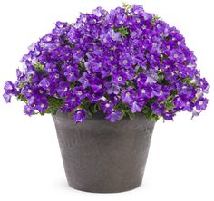 """Supertunia® Morning Glory Charm. In spring, this annual with petite flowers has a large white eye surrounded by petal edges that are more of a violet-purple, but in the heat of summer they are a soft lavender-blue, looking very much like a morning glory. Great in both containers and landscapes; in mounded form 8-15"""" tall, but will also spill over the edges of containers up to 36"""". It functioning as both spiller and filler. Part sun to sun, heat tolerant, no deadheading"""