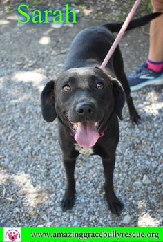Dog for adoption - Sarah, a Labrador Retriever Mix in Pensacola, FL Shelter Dogs, Rescue Dogs, Animal Rescue, Best Dog Breeds, Best Dogs, Purebred Dogs, Labrador Retriever Mix, Lab Puppies, Black Labrador