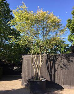 Dry Garden, Night Garden, Home And Garden, Trees And Shrubs, Trees To Plant, Back Gardens, Outdoor Gardens, Landscape Design, Garden Design