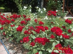 Lavaglut -Truly dark red flowers that last for a month, are rain tolerant and do not fade to a purplish color. It also self-cleans very well. However, it does get affected by black spot.