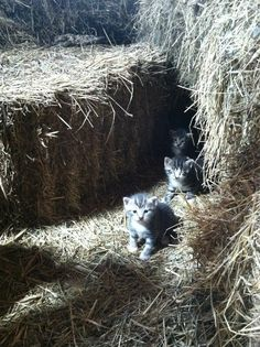 Barn Kittens. Had oh so many of these and had such fun.