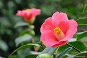 467031 - Japanese camellia (Camellia japonica)