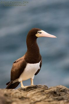Brown Booby bird. Boobies hunt fish by diving from a height into the sea and pursuing their prey underwater. Facial air sacs under their skin cushion the impact with the water. Boobies are colonial breeders on islands and coasts. They normally lay one or more chalky-blue eggs on the ground or sometimes in a tree nest.