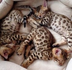 Most recent Photo Bengal Cats personality Strategies Initially, when it comes to exactly what is actually a Bengal cat. Bengal cats certainly are a pedigree kind o. Pretty Cats, Beautiful Cats, Animals Beautiful, Beautiful Babies, Beautiful Images, Cute Kittens, Cute Baby Animals, Animals And Pets, Bengal Kitten
