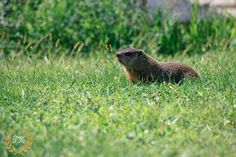 Groundhog woodchuck wildlife photography