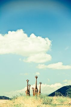 Giraffe invasion by Jonathan Tolleneer