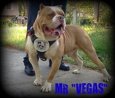 """American Bandogge Mastiff Dog Breed Information and Pictures The word """"Bandogge"""" is the generic name for any Bulldog-type Mastiff breed. American Bandogge Mastiff, Cute Puppies, Dogs And Puppies, Mastiff Dog Breeds, American Bulldog Puppies, Pit Dog, Giant Dog Breeds, Purebred Dogs, Dog Life"""