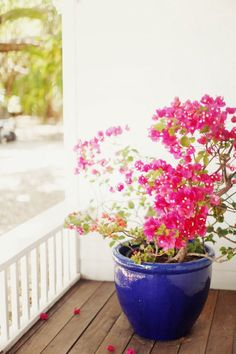 I have a blue pot like this and just planted a hot pink geranium in it. (plants in pots balcony) Bougainvillea, Container Plants, Container Gardening, Vegetable Gardening, Cherry Blossom Girl, Pink Blossom, Pink Geranium, Patio Plants, Potted Plants