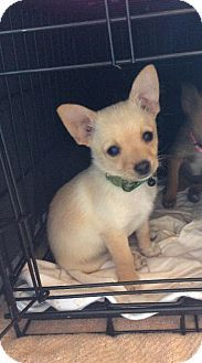 Dallas, TX - Pomeranian/Chihuahua Mix. Meet Bentley a Puppy for Adoption.