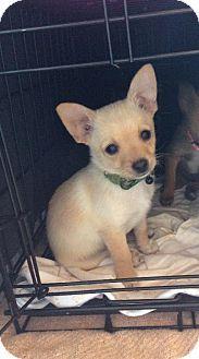 Dallas, TX - Pomeranian/Chihuahua Mix. Meet Bentley a Puppy for Adoption.