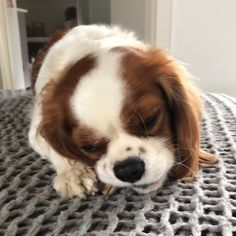 #cav #cavalierkingcharlesspaniel  #puppiesofinstagram #puplife #cavlife #dogsofinstagram #cavlife... Charles Spaniel, Cavalier King Charles, Spaniels, Camilla, Clarity, Projects To Try, Dogs, Stuff To Buy, Animals