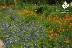 bluebonnets california poppies front yard instead of lawn #centraltexasgardener