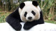 Resultado de imagem para panda