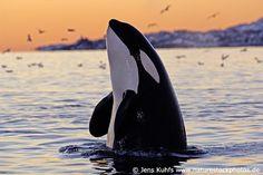 Orca Whale (Killer Whale)