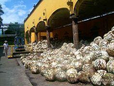 Sistema productivo La ruta del tequila en Jalisco, Mexico.