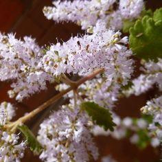 Sorte Der Rosenweihrauch kommt aus den endlosen Weiten Afrikas zu uns. Mit seinen samtigen Härchen an Blatt und Stiel und den üppigen weiß-rosa bis violetten Blütendolden ist der Rosenweihrauch eine wunderbare Zierpflanze. Aber er hat nicht nur optisch was zu bieten, bei Berührung verströmt er einen angenehmen Duft, die Blätter werden außerdem als Tee oder zur Inhalation verwendet, um Magenschmerzen oder Kopfweh zu lindern. Im getrockneten Zustand dienen Blätter und Stängel als wohltuendes… Inhalation, Plants, Mulches, Ornamental Plants, Plant, Planets