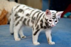 Have you ever seen a cat with such unusual markings? It's known as the Moscow Mutation and is believed to be caused by skin cell mutations.