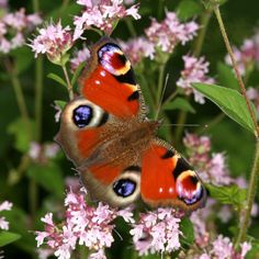Look for butterflies in Dorset this bank holiday