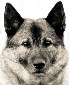 norwegian elkhound...just waiting for the girls to get older and then this dog is mine!!!
