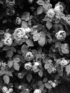 Brassée de roses anciennes