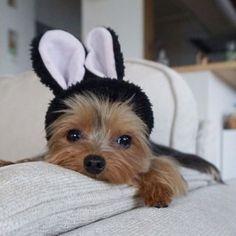 Bunny! #yorkshireterrier #yorkshireterriercute