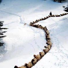 Amazing View of Herd of Sheeps in Azad Kashmir Pakistan