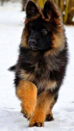 Wicked Training Your German Shepherd Dog Ideas. Mind Blowing Training Your German Shepherd Dog Ideas. Cute Puppies, Cute Dogs, Dogs And Puppies, Doggies, Maltese Dogs, Terrier Puppies, Baby Puppies, Funny Dogs, German Shepherd Puppies