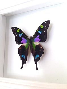 """Real Butterfly Taxidermy Art- Butterflies, Butterfly Art, Insect Art, Entomology, Taxidermist, Interior Design, Bugs. A 5""""x5"""" white wood shadow box frame secures a a real butterfly insect inside. Very unique! All insects come from preservation farms and lived a full life. They were not harmed in any way for my artwork. Information cards will be included to learn more. Makes a great conversational piece! Real butterfly wings are used after living a full life and preserved into unique, one…"""
