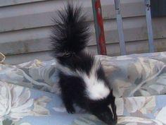 skunk as pet