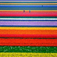 Tulip Fields in Netherlands -- 129 Places Worth Visiting Once in a Lifetime (part. 4)