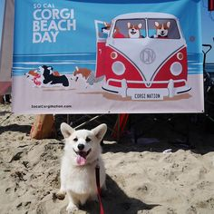 Instagram media by winstonthewhitecorgi - Today's #corgibeachday was all that I expected and more: heavier, derpier, frappier, loud... straight epic! Please tag @winstonthewhitecorgi or #winstonthewhitecorgi so I can remember all the new and old friends I saw today! okay, time to KO.