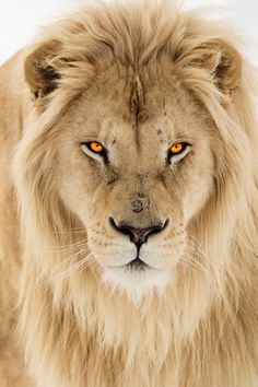 vividessentials:  White Lion | vividessentials