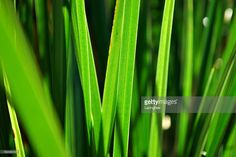 View top-quality stock photos of Sunlit Harakeke Leaves. Find premium, high-resolution stock photography at Getty Images. Abstract Photos, Image Now, Royalty Free Stock Photos, Leaves, Green, Wordpress, Shots, Photography, Photograph