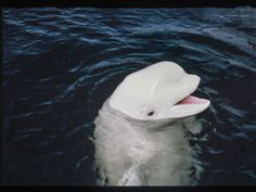 The Story of One Beluga Whale Who Tried to Bridge the Linguistic Divide Between Animals and Humans | Science | Smithsonian Magazine