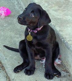 The Daily Puppy Cali the Labrador Retriever