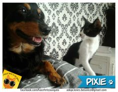 Pixie es un gato con mucha suerte. Estuvo unos días al cuidado de M.Gabriela y ella se enamoró de él... y lo adoptó! Ahora vive junto a Vaquero, su hermano perruno quien lo cuida muy bien! Gracias Gabriela por darle el hogar que Pixie necesitaba!