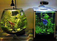 aquario para bettas