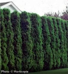 American Arborvitae - Thuja occidentalis Great hedge, privacy screen, or windbreak Narrow, pyramid shape Typically grows 20'-30' with 12' spread in urban settings Plant 3' apart for hedge Zones 3 to 7