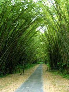 Bamboo Cathedral, Trinidad
