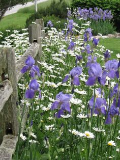Country Fence with Daisies and Iris's