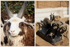 """The sheep have landed. After three years of high-level negotiations between the Israeli and Canadian governments, 119 heritage sheep, which trace their lineage back 5,000 years to the Middle East, began arriving in Israel on November 30. It is the first time that the breed, called Jacob's sheep, has been represented in Israel since biblical times.  Term """"Jacobs sheep"""" comes from Gen 30:32."""