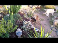 All creatures living in harmony - Chickens and dogs living together