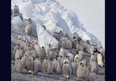 Un encuentro de pingüinos emperadores hembra.