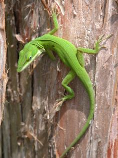 Green lizard, anole. (Charlie Banks).  Don't see many around any more.