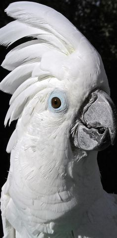 The White Cockatoo (Cacatua alba), also known as the Umbrella cockatoo
