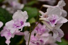 Streptocarpus / Cape Primrose
