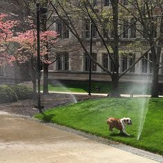 The campus sprinklers are being tested today! I will not resist. When your walk hands you running sprinklers, you get wet. Butler University, Sprinklers, Getting Wet, Joy, English, Hands, Running, Life, Instagram