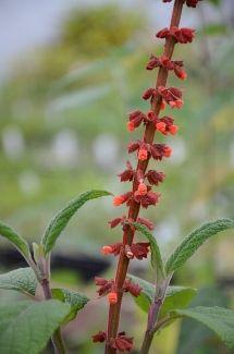 Salvia confertiflora Reddish Brown Hair, Salvia, Orange Flowers, Green Leaves, Seasons, Plants, Red Brown Hair, Sage, Seasons Of The Year