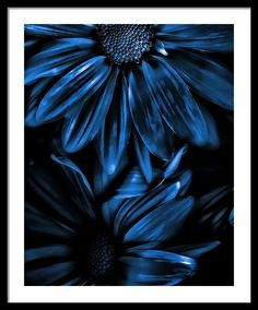 Midnight Blue Gerberas Photograph by Bonnie Bruno - Midnight Blue Gerberas Fine Art Prints and Posters for Sale Favorite color. Love Blue, New Blue, Blue Green, Behind Blue Eyes, Bleu Indigo, Blue Aesthetic, Something Blue, Color Azul, Third Eye